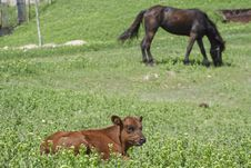 Free Claf And Horse On The Grassland Stock Photography - 18668712