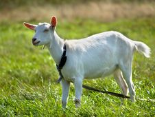 Free Goat On Green Meadow Stock Images - 18669624