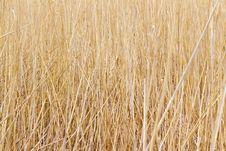 Free Dry Reed Royalty Free Stock Photos - 18669648