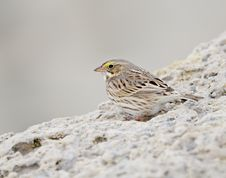 Free Savannah Sparrow (Passerculus Sandwichensis) Stock Photography - 18669802