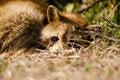 Free Raccoon Royalty Free Stock Photos - 18670198