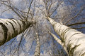 Free Winter Birches In White Rime Royalty Free Stock Image - 18671076