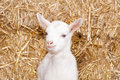 Free Baby Goat Stock Photography - 18671162