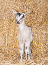 Free Baby Goat Royalty Free Stock Photo - 18671255