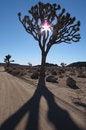 Free The Mighty Joshua Tree Stock Photography - 18678712