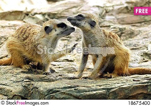 Suricate or meerkat (Suricata suricatta) Stock Photo