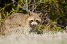 Free Raccoon Royalty Free Stock Images - 18670229