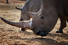 Free White Rhino Mother And Calf Royalty Free Stock Photo - 18670365
