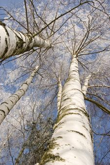 Free Winter Birches In White Rime Royalty Free Stock Images - 18671129