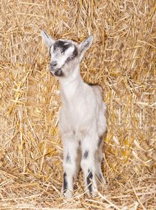 Free Baby Goat Royalty Free Stock Photo - 18671255