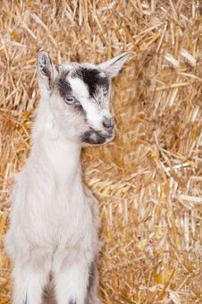 Free Baby Goat Stock Photo - 18671300