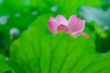 Free Pink Lotus Royalty Free Stock Photos - 18671718