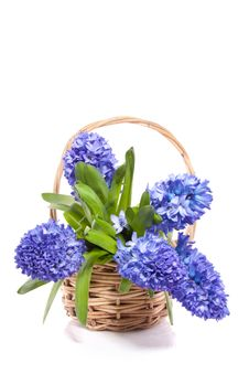 Free Blue Hyacinths Royalty Free Stock Photo - 18672325