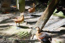Free Duck Royalty Free Stock Photos - 18672688