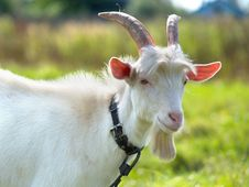 Free Goat On Green Meadow Royalty Free Stock Photography - 18672747