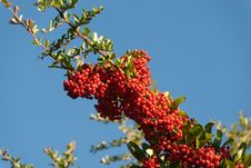 Free Red Berries Royalty Free Stock Photography - 18673787