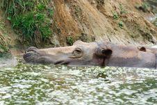 Free Hippopotamus Royalty Free Stock Photography - 18673817