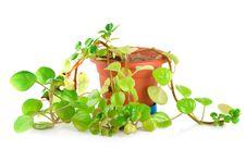 Free Houseplant Royalty Free Stock Images - 18674519