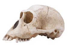 Skull Monkey Royalty Free Stock Images