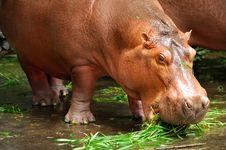 Free Hippopotamus Stock Images - 18675124