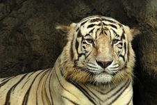 Free White Bengal Tiger Stock Images - 18675294