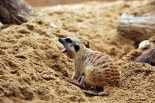 Free Suricate Or Meerkat (Suricata Suricatta) Royalty Free Stock Photo - 18675385