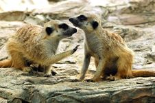 Free Suricate Or Meerkat (Suricata Suricatta) Stock Photo - 18675400