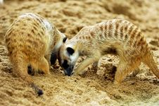Free Suricate Or Meerkat (Suricata Suricatta) Royalty Free Stock Photography - 18675417