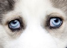 Free Blue Eyes Of Cute Siberian Husky Puppy Stock Images - 18675594