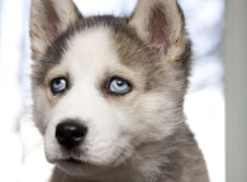 Free Portrait Of Cute Siberian Husky Puppy Stock Photos - 18675603