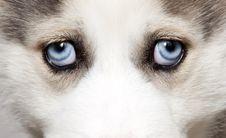 Free Close Up On Blue Eyes Of Cute Siberian Husky Stock Photos - 18675783