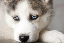 Free Siberian Husky Stock Photo - 18675790