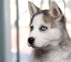 Free Siberian Husky Royalty Free Stock Image - 18675796