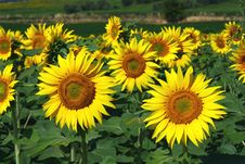 Free Sunflowers Field Royalty Free Stock Photos - 18676698