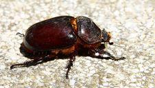Free Rhinoceros Beetle Stock Photos - 18676813