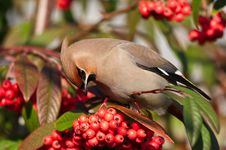 Free Waxwing Royalty Free Stock Photography - 18676977