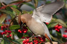 Free Waxwing Royalty Free Stock Photography - 18677307