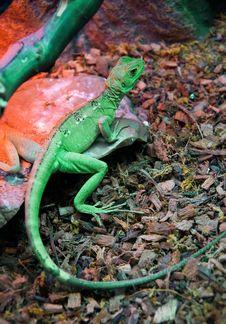 Free Green Lizard Royalty Free Stock Photography - 18677437