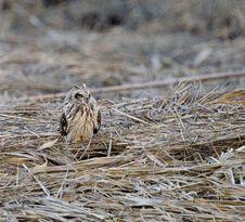 Free Short Eared Owl (Asio Flammeus) Stock Image - 18677891