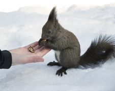 Free Grey Squirrel Eating Nuts From Hand Royalty Free Stock Image - 18678836