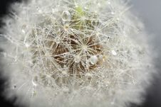 Free Head Of Dandelion, Macro Royalty Free Stock Image - 18679246