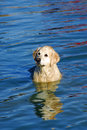 Free Yellow Labrador Retriever In Blue Water Royalty Free Stock Photo - 18684955