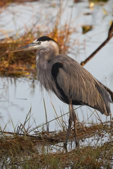Free Great Blue Heron (ardea Herodias) Royalty Free Stock Photo - 18681445