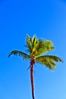 Free Crown Of Palm Tree Royalty Free Stock Images - 18681889