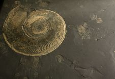 Free Fossilized Ammonite Royalty Free Stock Photo - 18682685