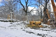 Free Snowy Sheepfold Royalty Free Stock Images - 18683709