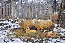 Free Sheepfold Stock Photos - 18683743