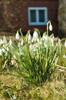 Free Snowdrops Stock Photography - 18685252