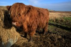 Free Highland Cow Stock Photo - 18686440