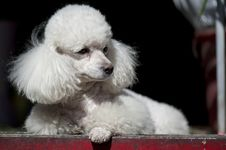 Free PORTRAIT OF POODLE Stock Images - 18688344